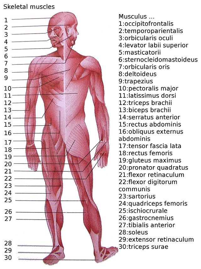 the human muscular system - course lesson, Muscles